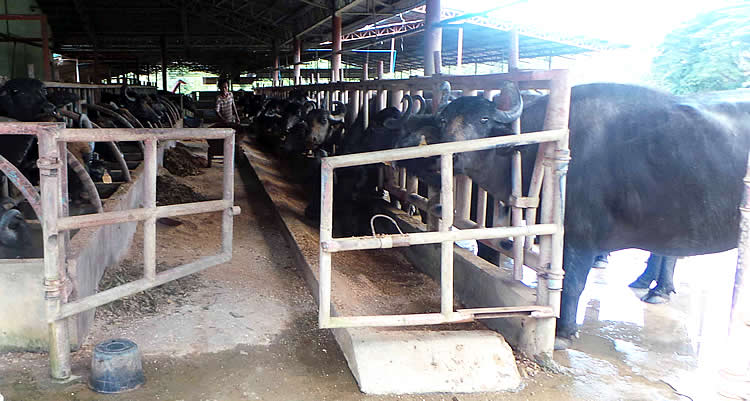 Italian Buffaloes at the milking facility of Philippine Carabao Center at Ubay Stock Farm.