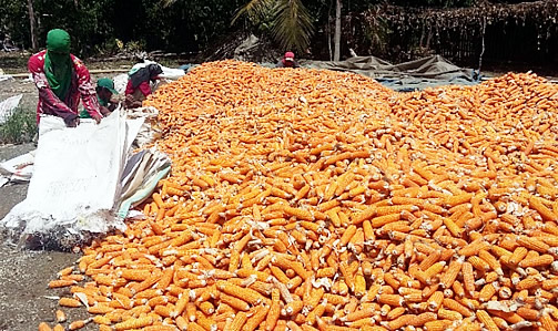 Packing yellow corn on cobs in Sumilao, Bukidnon.