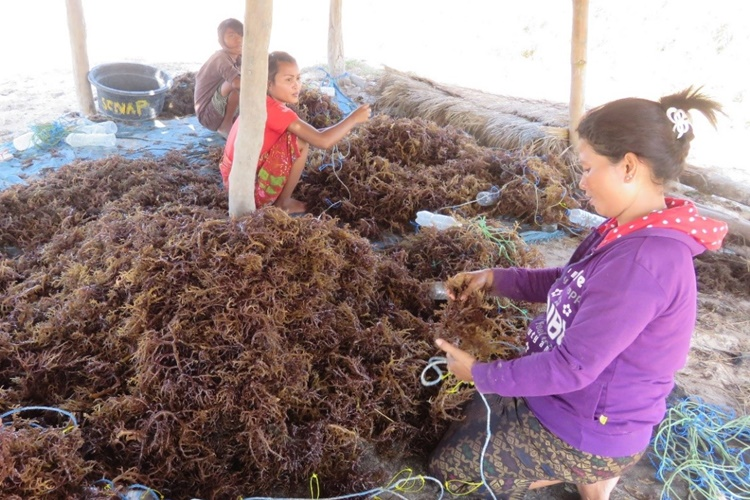 Lombok, Indonesia - Seaweed cuttings are tied to improvised floating devices in preparation for the new planting season