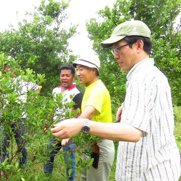 Dr. Tadashi Baba (1st from right) and Dr. Yoshitaka Kawai (2nd from right) demonstrating the full-pruning technique as another treatment for off-season fruiting of calamansi