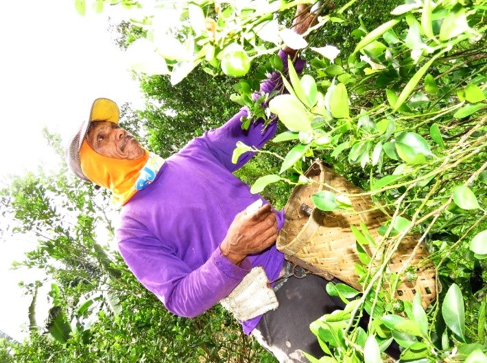 A farmer harvesting calamansi fruits using improvised hand tool (attached in thumb) to prevent fruit damage.