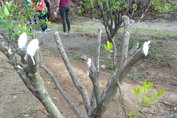 An example of pruned calamansi tree.