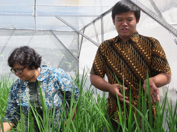 Yogyakarta, Indonesia – Team members of the SFRT-funded project give a tour of the greenhouse facility where they conduct experiments on resistance evaluation of pigmented rice cultivars