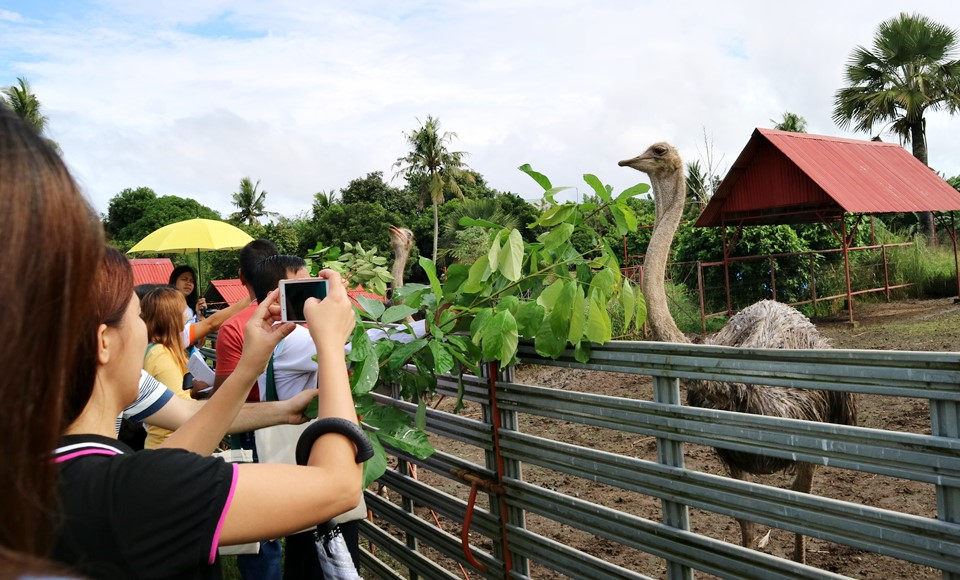Graco Farms in Pila, Laguna produces cheese from goat's milk, but also grows other kinds of farm animals including this ostrich.