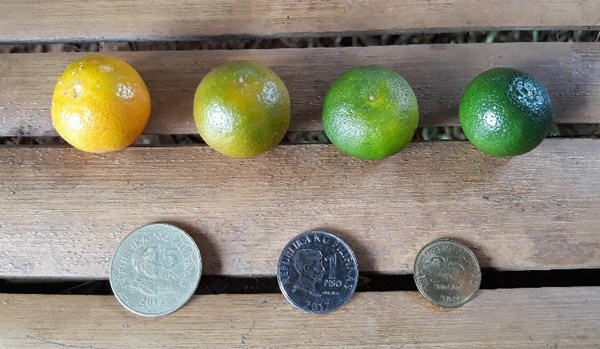 Samples of calamansi fruits at different ripening stages subject to quality evaluation (from L-R: over-ripe, ripe, breaker and mature green)