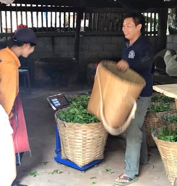 Villager selling tea leaves harvested from agro-forest in Mae Tha.